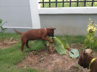 Thai Ridgeback Dog หมาไทยหล งอาน