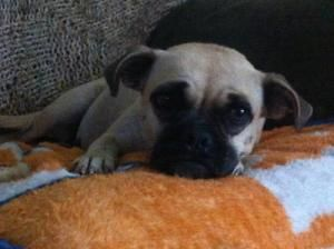 Coraline Is An Adoptable Pug Dog In Austin Tx Sweet Coraline Is