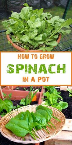 Growing Tomatoes In Containers If you're short on garden space but committed to eating a healthy, balanced diet and would like to take part in growing your own produce, container gardening is the answer. Almost anything that gro… Growing Spinach, Growing Veggies, Growing Plants, How To Grow Spinach, Planting Spinach, Growing Tomatoes In Containers, How To Harvest Spinach, How To Grow Zucchini, How To Grow Lettuce