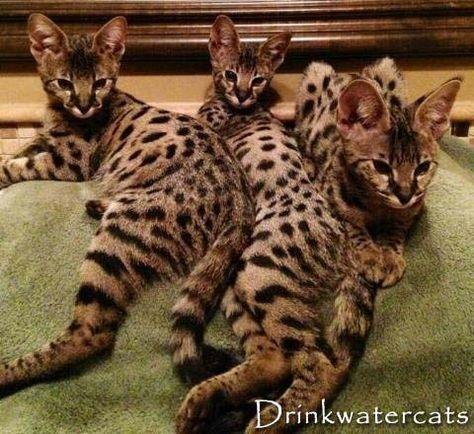 Drinkwater Savannahs Savannah Cat Ideas Of Savannah Cat Savannahcat Drinkwater Savannahs The Post Drinkwater Sava Bengal Cat Savannah Chat Savanna Cat