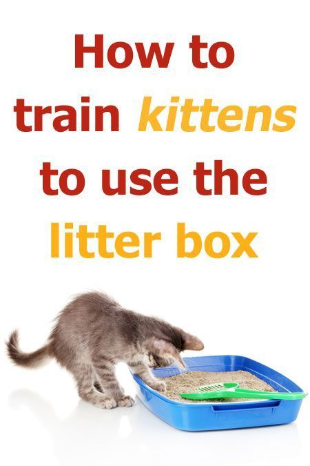 How To Train Kittens To Use The Litter Box Cats Litterbox Trainingcat Cattraining Catlitter Catlitter Cat Training Litter Box Litter Box Raising Kittens