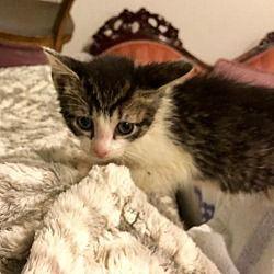 Rockaway New Jersey Domestic Shorthair Meet Raffi S Rainy A For Adoption Https Www Adoptapet Com Pet 21778080 Rockaway New Jerse Pets Pet Adoption Cats