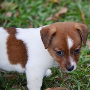 Find The Right Puppy For Your Family Puppyspot Jack Russell Terrier Puppies Puppies Crate Training Puppy