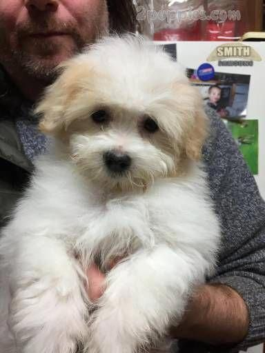 Cute Baby Dog Pictures Wallpaper Coton De Tulear Dogs Puppies