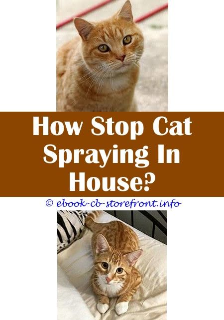 male true cat indoors passion spraying