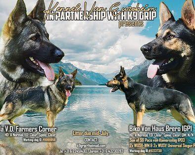 44 German Shepherd Mix Breed Reviews In 2020 German Shepherd Black German Shepherd Vizsla Puppies