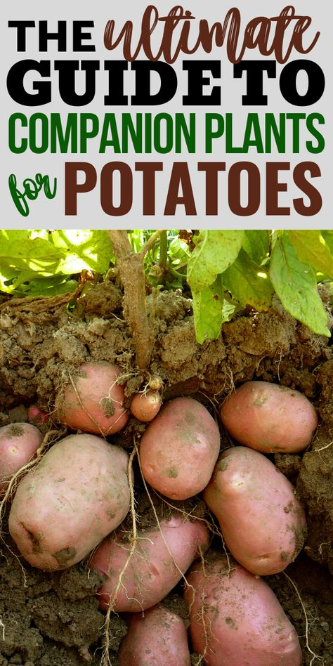The Best Companion Plants for Potatoes