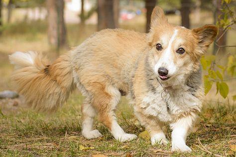 The Daily Corgi Why I Donated To National Mill Dog Rescue Corgi