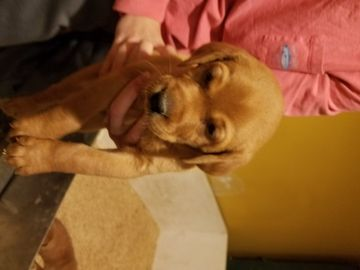 Litter Of 5 Labrador Retriever Puppies For Sale In Upperco Md Adn 57379 On Puppyfinder Com Gender Fem Labrador Retriever Puppies Labrador Retriever Labrador