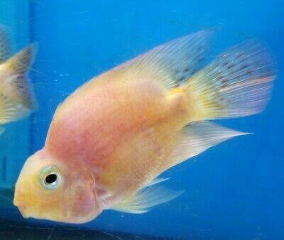 Pink Orange Parrot Cichlid Aquarium Fish 2 Imported Thailand Free Expedited Shipping Cichlids Cichlid Aquarium Aquarium Fish