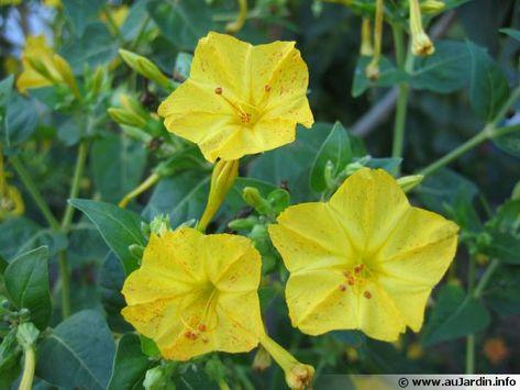 Fleurs de Belle de nuit, Mirabilis jalapa