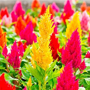 Celosia Plumosa Unusual Flowers Annual Flowers Perennial Plants