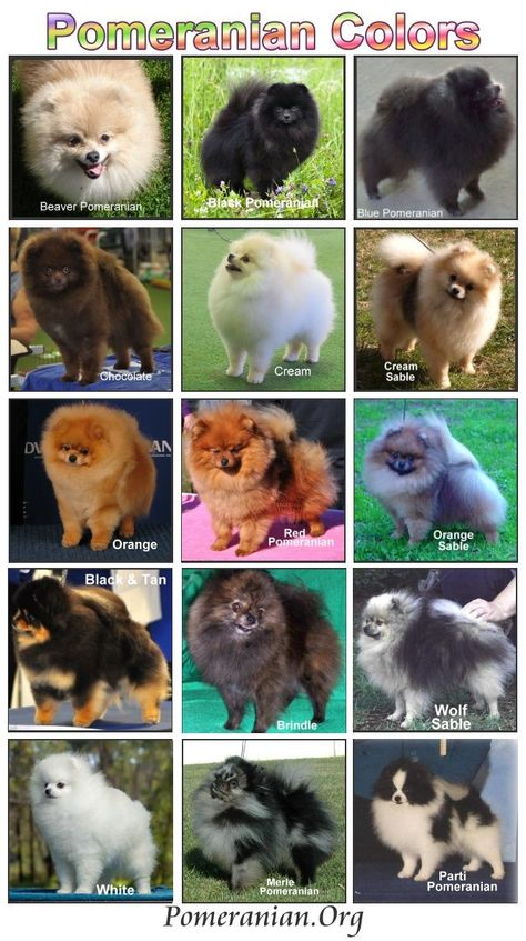 List of colors of Pomeranians with photos of Pomeranian colors. AKC Pomeranian colors listed and Pomeranian color pattern details. Detailed information on different colors of Pomeranians and Pomeranian color chart. Teacup Pomeranian Puppy, Pomeranian Colors, Pomeranian Haircut, Pomeranian Facts, Puppy Husky, Pomeranian Hairstyles, Cute Puppies, Cute Dogs, Colors