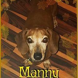 Green Cove Springs Fl Dachshund Meet Manny A Dog For Adoption