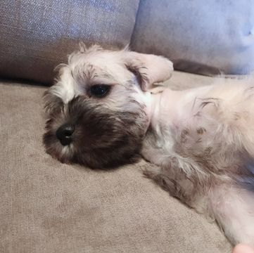 Litter Of 4 Schnauzer Miniature Puppies For Sale In Kent Oh