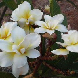 Plumeria Rubra Bali Whirl Unusual Flowers Plumeria Plant Delivery
