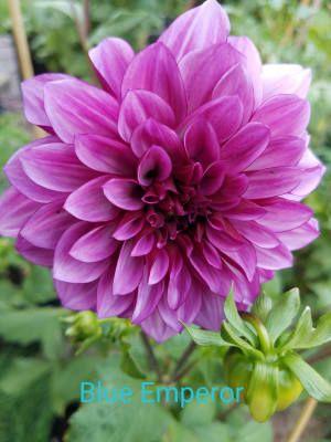 Buy Emperor Dahlia Breck S In 2020 Showy Flowers Dahlia Flower Dahlia