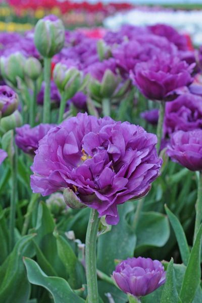 Tulpe Exquisit Lila Garten Lila Bluten Tulpen