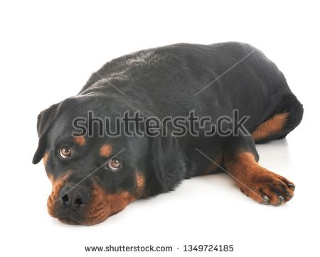 Stock Photo Purebred Rottweiler In Front Of White Background
