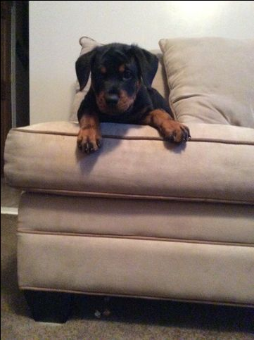 Rottweiler Puppy For Sale In Fall River Ma Adn 20204 On