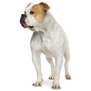 American Bulldog Bulldog Breeds French Bulldog Breeds Dog