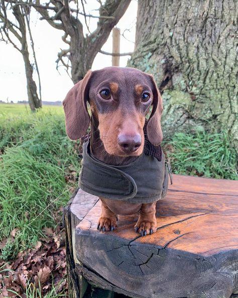 instagram: @ralphy_the_sausage I love weekend walkies! ☺️🐾 • • • • #miniaturedachshund #dachshundsofinstagram #dailybarker #puppiesofinstagram #sausagedog #dachshund #sausagedogcentral #doxielove #dachshundsunited #dachshundappreciation #instapup #bigsausagerolls #thedoxieworld #barbour #barbourdogs #weekendwalkies #walkies #waxjacket