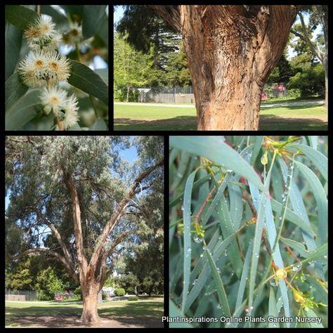 Plant Nursery Sales Online Delivered Australia Wideeucalyptus Nicholii X 10 Narrow Leaved Black Peppermint Gum Tree Plan Trees To Plant Plants Plant Nursery