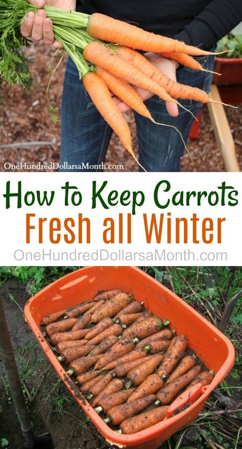How to Keep Carrots, Potatoes and Beets Fresh All Winter - One Hundred Dollars a Month - How to Keep Carrots Fresh All Winter, Winter Storage Carrots, Winter Storage Vegetables, Root Crops - Growing Winter Vegetables, Fall Vegetables, Store Vegetables, Planting Vegetables, Organic Vegetables, Potato Storage, Indoor Vegetable Gardening, Organic Gardening, Texas Gardening