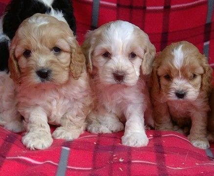 Litter Of 6 Cavapoochon Mix Puppies For Sale In Conowingo Md Adn