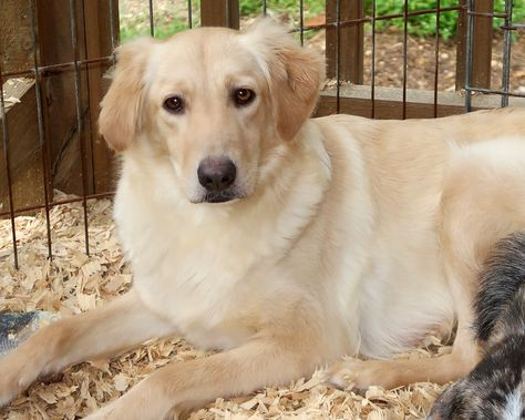 Australian Retriever Dog For Adoption In Eureka Springs Ar Adn