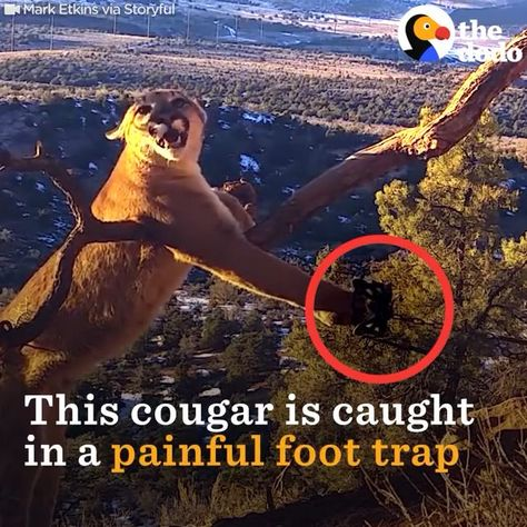 These men risked their own life to save this poor cougar from the trap ♥️❤️ please follow Animals Board for more