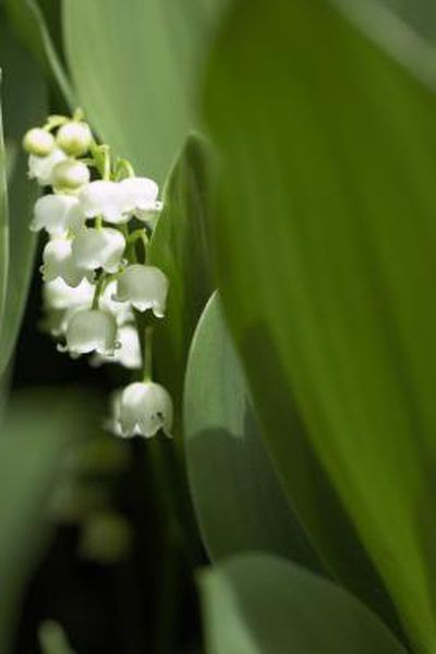 Care For Lily Of The Valley Flower Lily Of The Valley Flowers Ground Cover Plants Valley Flowers