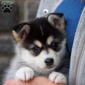 Chloe Pomsky Puppy For Sale In Ohio In 2020 Pomsky Puppies For Sale Pomsky Puppies Yorkie Puppy For Sale