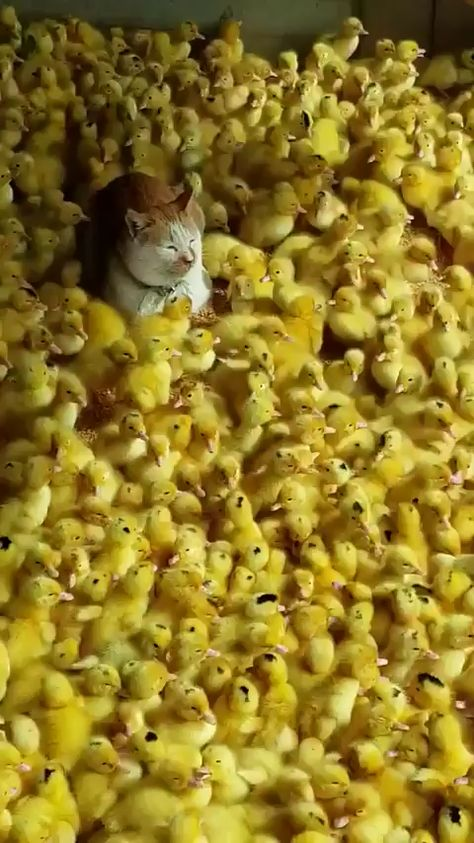 Cat hanging out with a bunch of chicks.