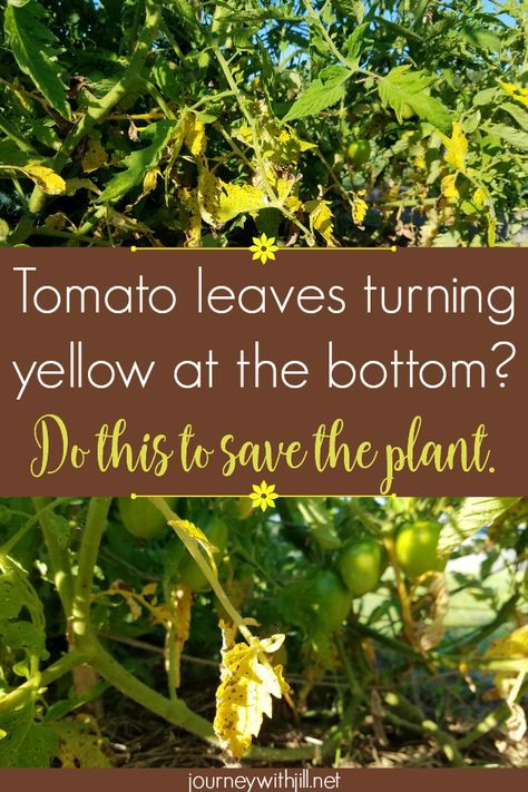 Yellow Leaves at the Bottom of Your Tomato Plants