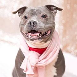 Available Pets At One More Dog Rescue Formerly Rsht In Wethersfield Connecticut Pitbull Terrier Pitbulls Stafford Bull Terrier