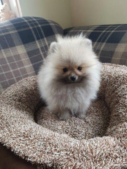 Find Out More On Cute Pomeranian Puppies Personality Teacup Pomeranian Puppy, Pomeranian Facts, Cute Puppies, Cute Dogs, Dogs And Puppies, Beagle Puppies, Husky Puppy, Doggies, Softies