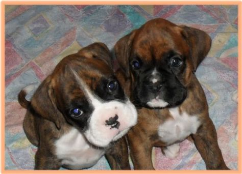 Looks Just Like Laila When She Was A Pup Cani Boxer Puppies