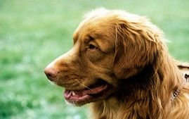 Chesapeake Bay Retriever Dog Breed Information Nova Scotia Duck Tolling Retriever Dog Breeds Dogs