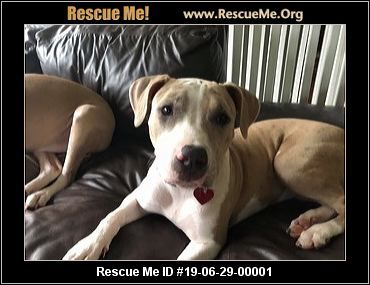 Florida American Bulldog Rescue Adoptions Rescue Me American Bulldog Rescue Dog Adoption American Bulldog
