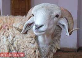 صور الخروف معلومات عن الخروف Animals Goats Lamb