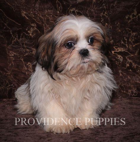 Shih Tzu Puppy For Sale In Wayland Ia Adn 70774 On Puppyfinder