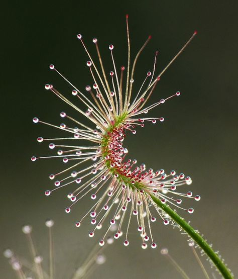 Planta Carnívora Drosera scorpioides commonly called the shaggy sundew, a carnivorous plant Unusual Flowers, Unusual Plants, Exotic Plants, Cool Plants, Amazing Flowers, Plante Carnivore, Carnivorous Plants, Seed Pods, Amazing Nature