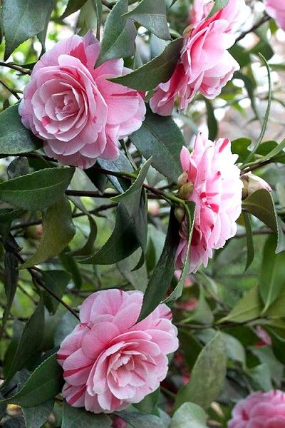 Buy La Peppermint Camellia Japonica Free Shipping 3 Gallon Plants For Sale From Wilson Bros Gardens Online In 2020 Plant Sale Plants Peppermint