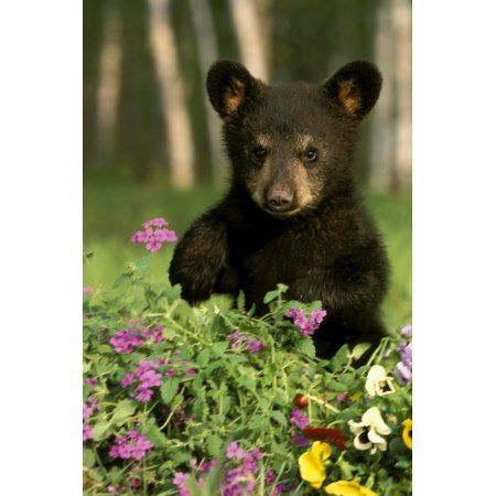 Captive Black Bear Cub Playing In Flowers Minnesota Canvas Art - Michael DeYoung Design Pics (11 x 17)