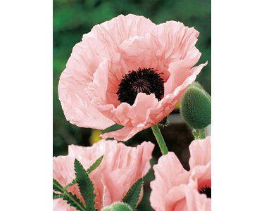 Orientalischer Mohn Rosa Topf O Ca 19 Cm Papaver Kaufen Bei Obi Mohn Blumen Pflanzen Pflanzen