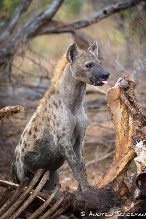 Queen Of The Bone Pile Animais Selvagens Animais E Hiena