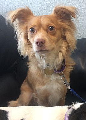 Oak Ridge Nj Papillon Meet Jujube A Dog For Adoption Dog Adoption Pet Adoption Pets