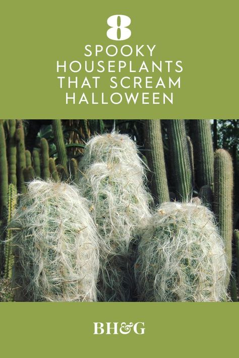We're fascinated by these fun plants that fit right in with witches, goblins, and vampires. Twisted succulents, foul-smelling flowers, and ghoulish ferns all make delightfully creepy additions to our indoor gardens. #halloweenplants #spookyhouseplants #halloweendecor #bhg