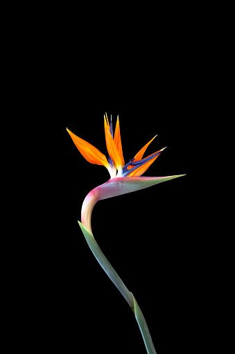 Colorful Bird Of Paradise Flower With A Long Curved Stem Close Up On In 2020 Birds Of Paradise Flower Birds Of Paradise Stock Images Free